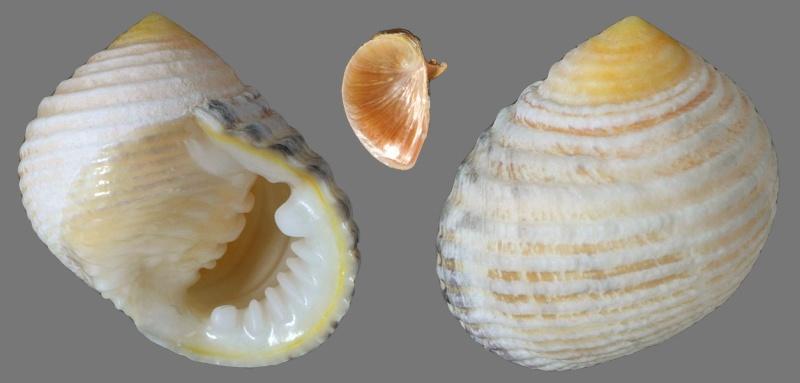 Nerita planospira - Anton, 1838 Nerita10