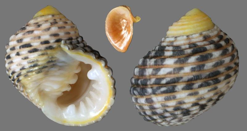 Nerita plicata ( Linnaeus, 1758 )    Nerita11
