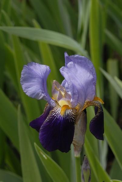 Un nom pour ces iris SVP ? _brg0013