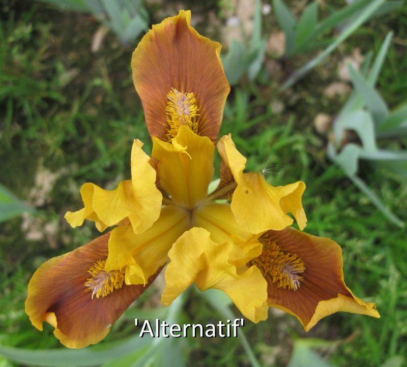 """et pourquoi pas des iris """"spider"""" ? Altern10"""