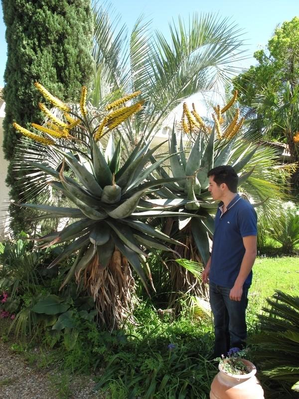 Pierre - Jardin d'acclimatation privé : l'Oasis (66) - Page 9 Aloe_m11