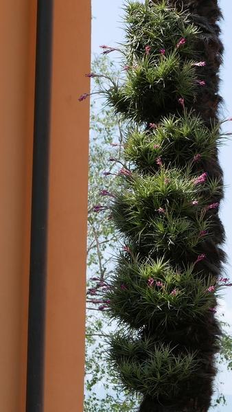 Tillandsia aeranthos - Page 2 Epiphy14