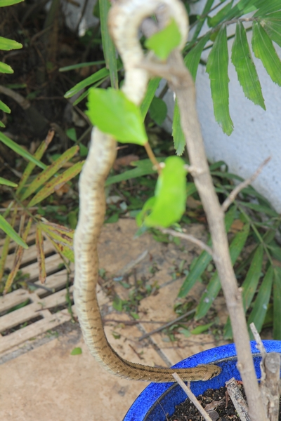Pierre - Jardin d'acclimatation privé : l'Oasis (66) - Page 9 Snake_10