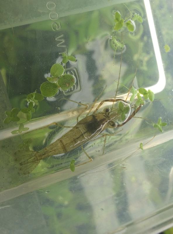 Quel est cette espèce de macrobrachium. Img_0752