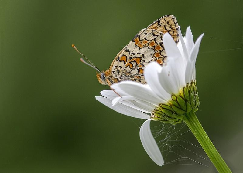 papillons sur nos fleurs  Didyma10
