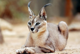 Les membres en animaux, c'est cool. Lynx-110