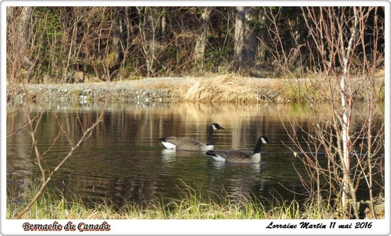 Bernaches du Canada Bernac14