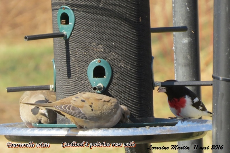 Cardinal à poitrine rose mâle  Cardin14