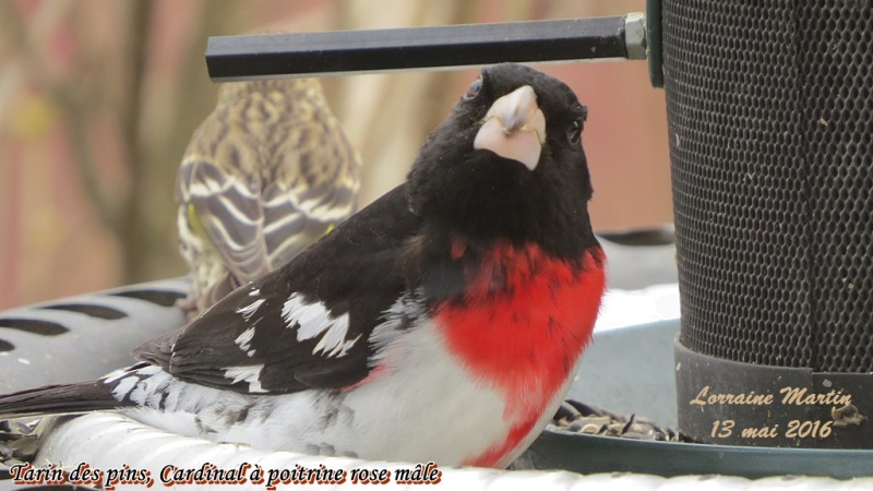 Cardinal à poitrine rose mâle  Cardin16