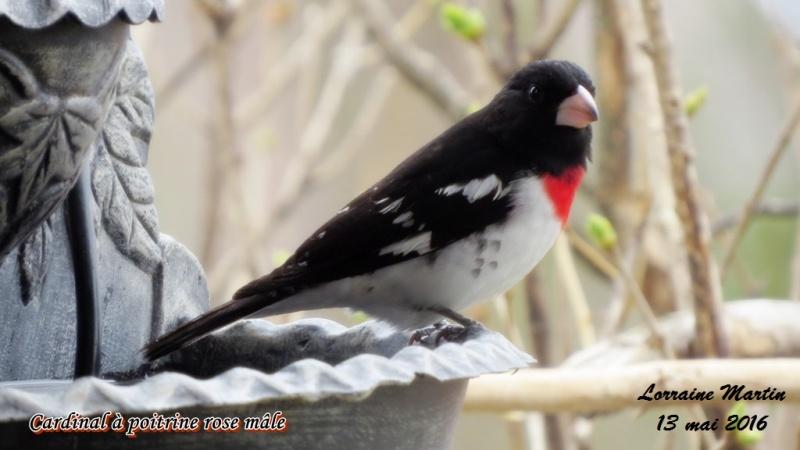 Cardinal à poitrine rose mâle  Cardin18