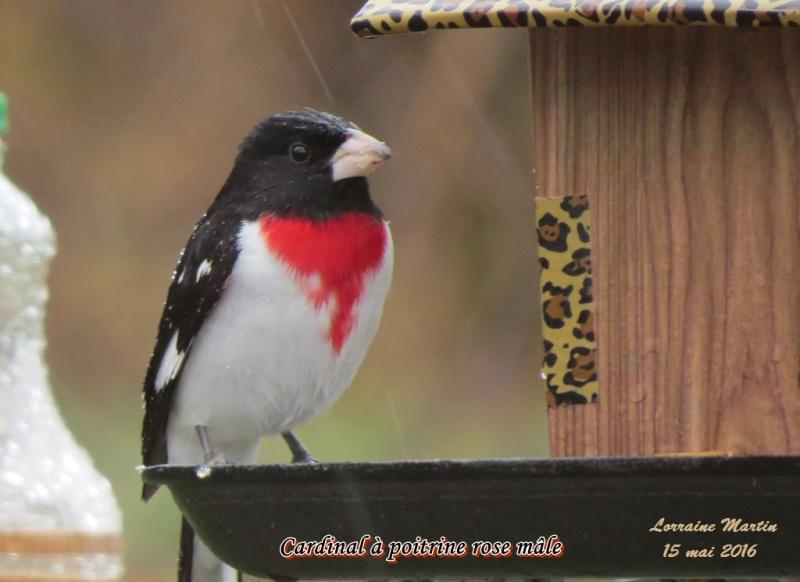 Cardinal à poitrine rose mâle encore  Cardin25