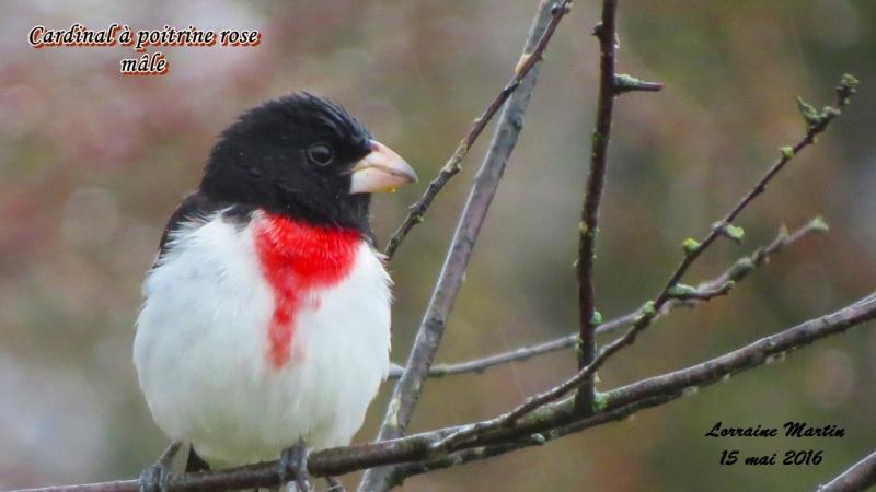 Cardinal à poitrine rose mâle encore  Cardin26