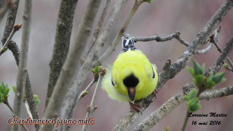Chardonneret jaune  Chardo13