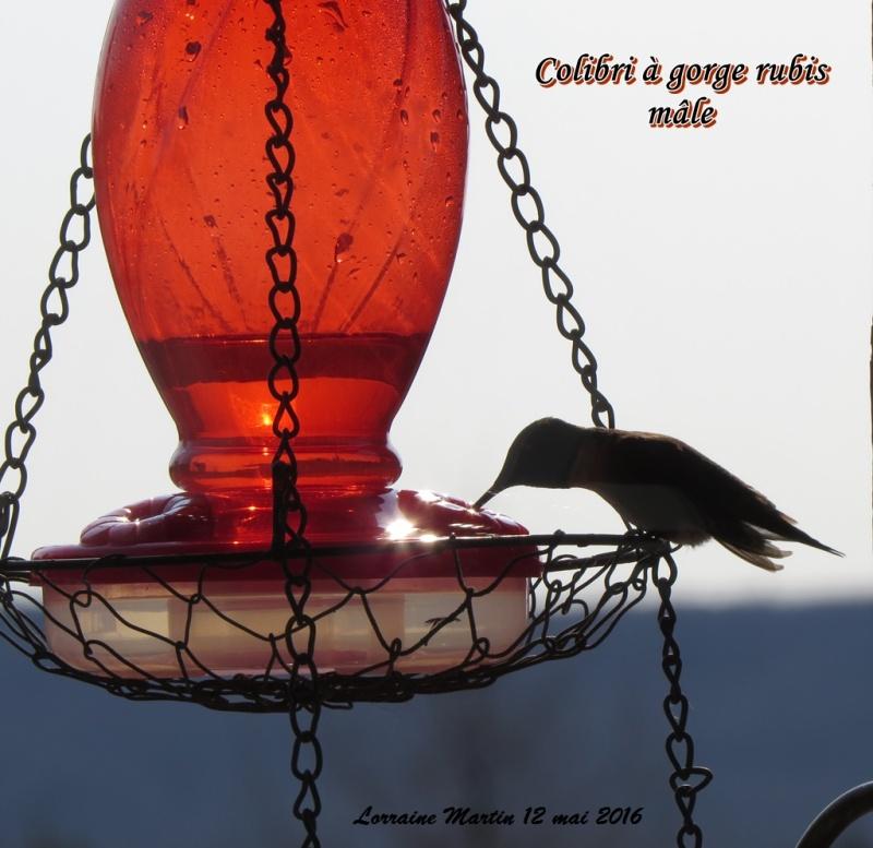 Colibri mâle arrivé  Colibr10