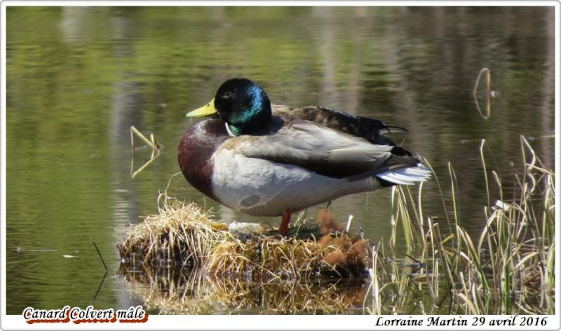 Canard Colvert mâle  Colver12