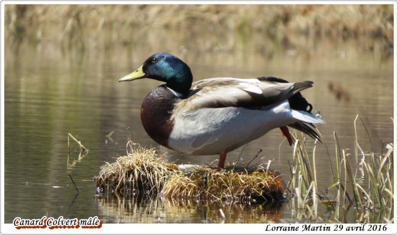 Canard Colvert mâle  Colver14