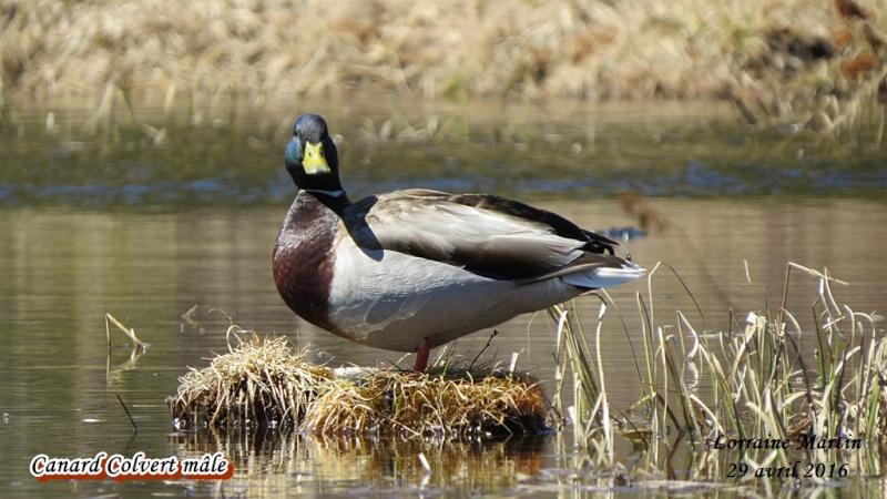 Canard Colvert mâle  Colver17