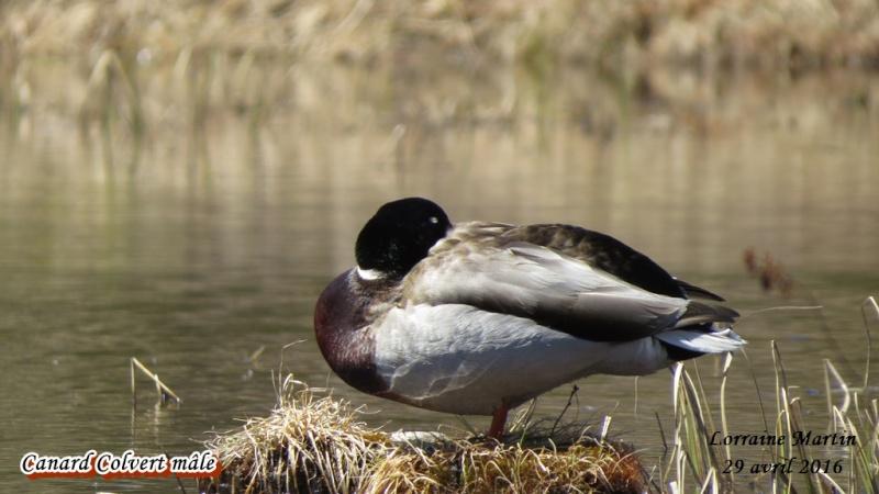 Canard Colvert mâle  Colver18