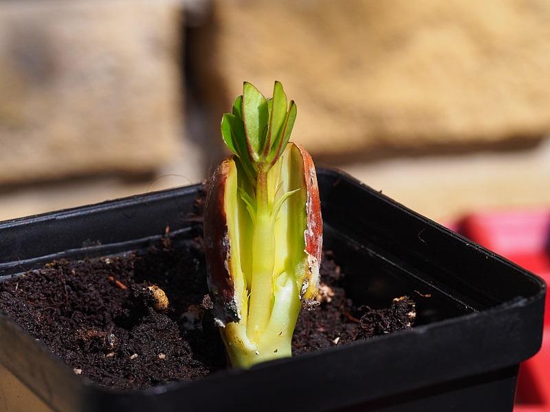 Erdnuss (Arachis hypogaea) - Aufzucht, Pflege und Photos A1113