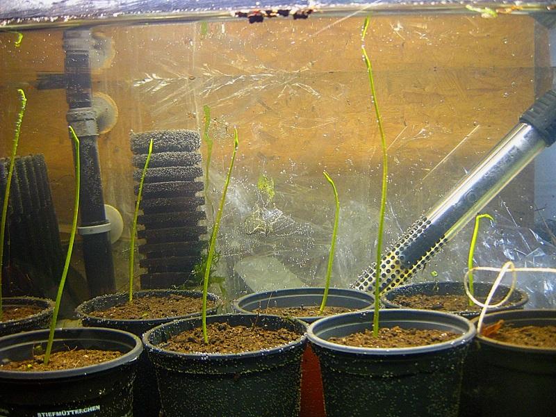 Lotosgewächse (Nelumbonaceae) A115