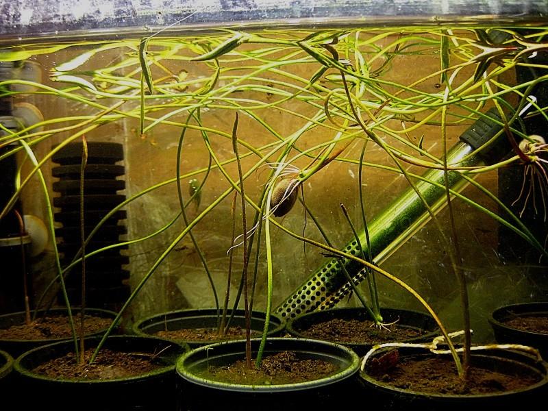 Lotosgewächse (Nelumbonaceae) A120