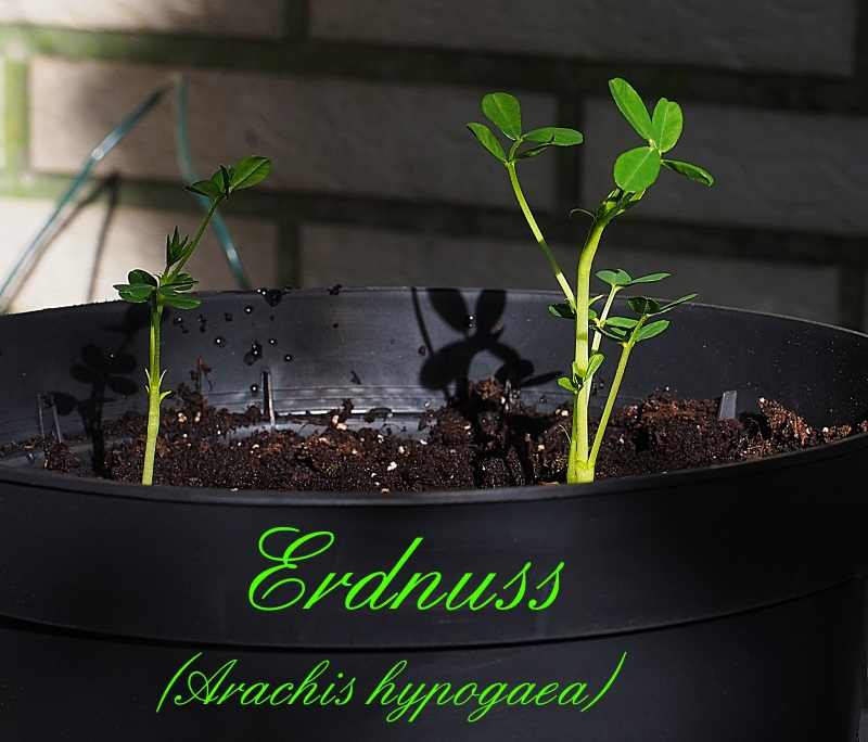 Erdnuss (Arachis hypogaea) - Aufzucht, Pflege und Photos A320