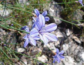 Aphyllanthe de Montpellier, Bragalou 290px-10