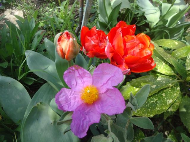 tulipe 2016 à 2019 Dsc08247
