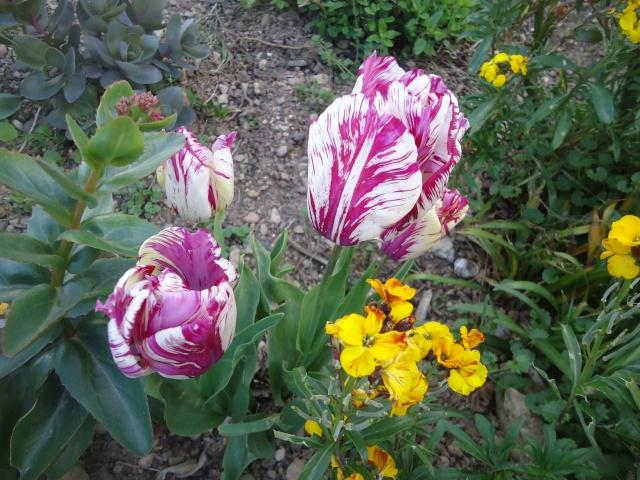 tulipes - Page 2 Dsc08316