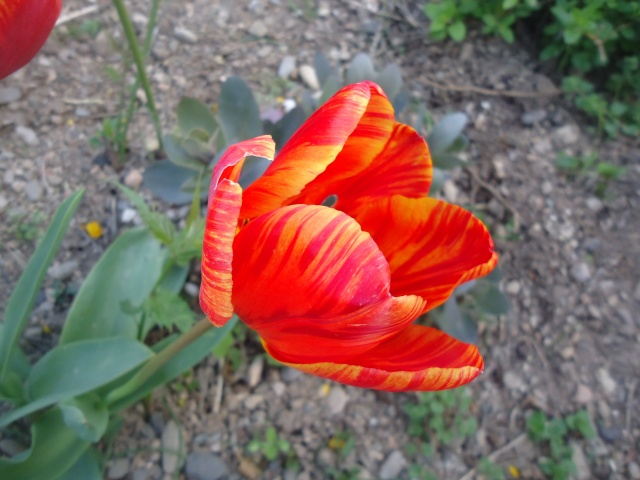 tulipes - Page 2 Dsc08317