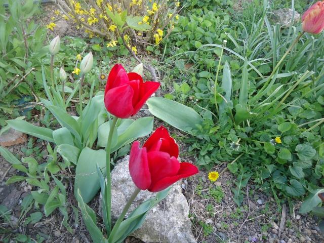 tulipes - Page 2 Dsc08319