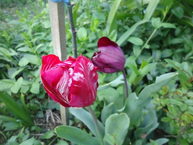 tulipes - Page 2 Dsc08335