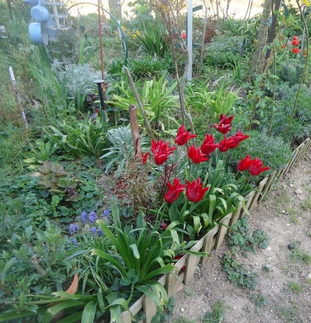 tulipe 2016 à 2019 Dsc08336