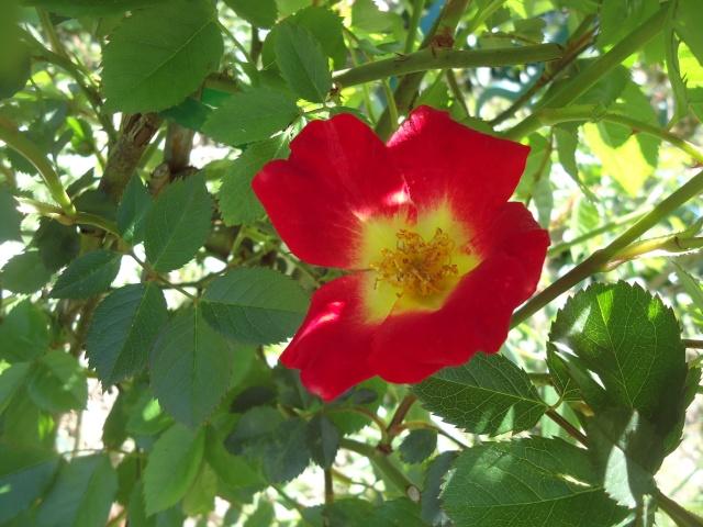 fleur de rosier 2016  Dsc08455