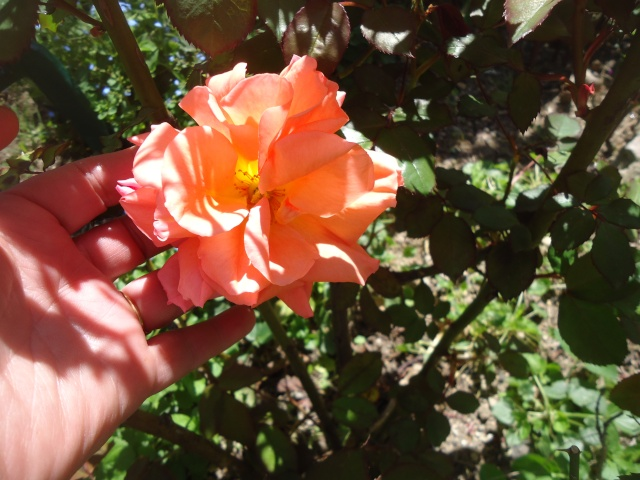 fleur de rosier 2016  Dsc08456