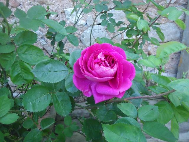 fleur de rosier 2016  Dsc08523