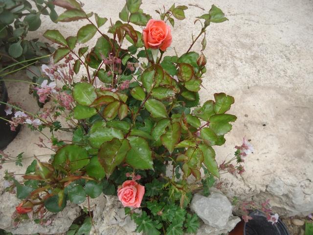 fleur de rosier 2016  Dsc08553
