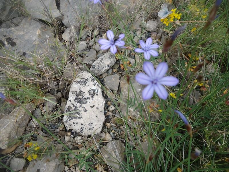 Aphyllanthe de Montpellier, Bragalou Dsc08730