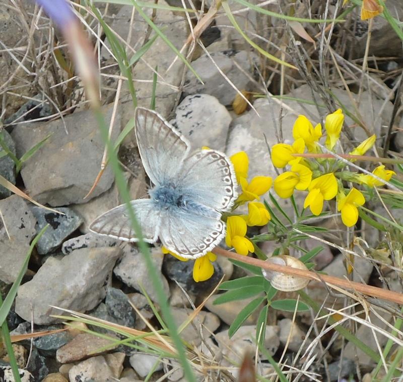 Aphyllanthe de Montpellier, Bragalou Dsc08732