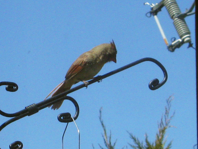 Cardinal rouge Fem-ca10