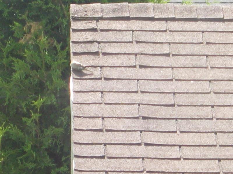 Oiseau qui roule sur les bardeaux Img_6311