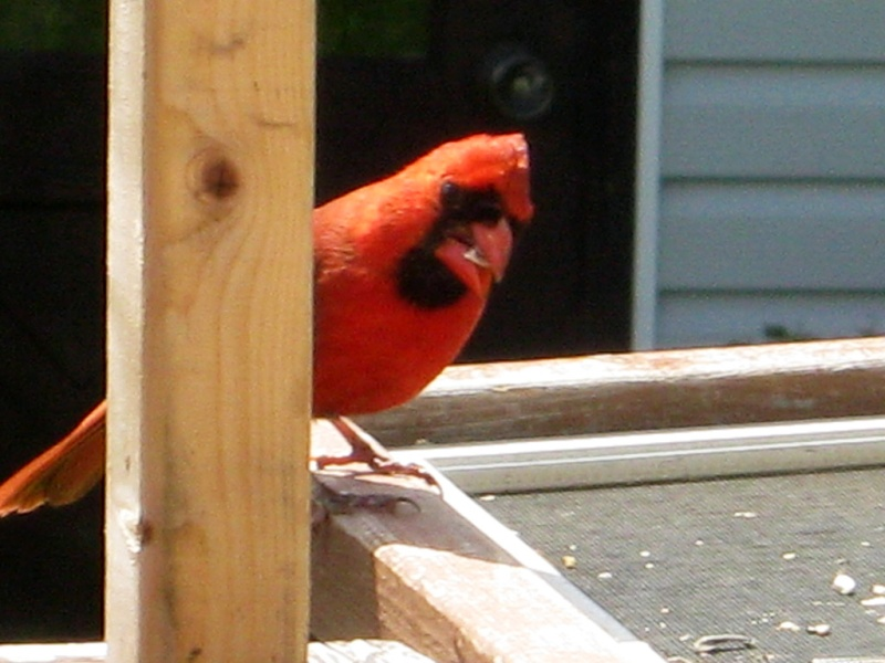 Cardinal rouge Img_6314
