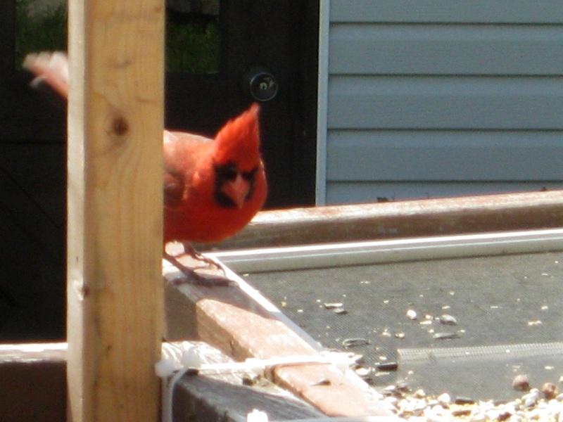 Cardinal rouge Img_6315