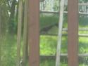 Quiscale bronzé éclopé qui aide une corneille blessée Img_6412