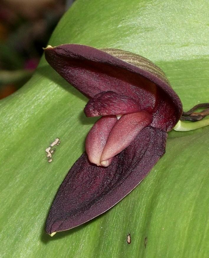 """Pleurothallis gargantua und Pl. marthae - zwei """"Riesen"""" der Gattung Pleuro11"""