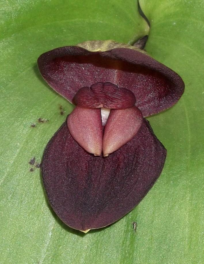 """Pleurothallis gargantua und Pl. marthae - zwei """"Riesen"""" der Gattung Pleuro13"""