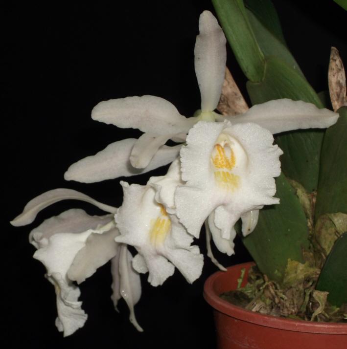 Trichopilia hennisiana und Trpla. suavis Tricho11