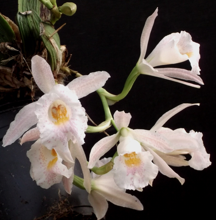 Trichopilia hennisiana und Trpla. suavis Tricho13