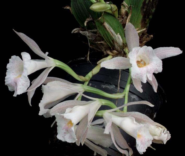 Trichopilia hennisiana und Trpla. suavis Tricho14