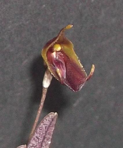 Trisetella triglochin Triset10